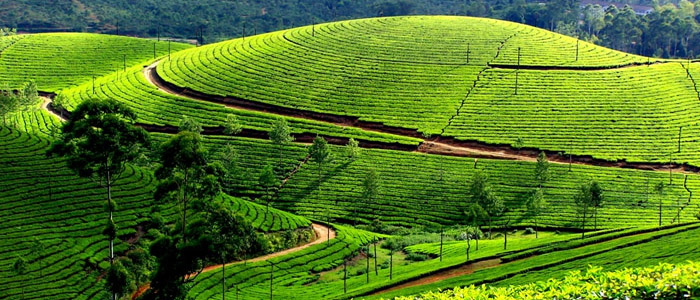 Nuwara Eliya - Tea Plantations